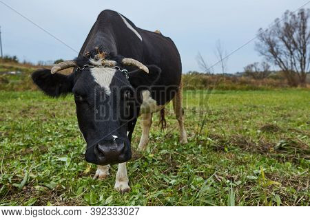 Dairy Cow At Countryside. Dairy Cow. A Curious Dairy Cow.