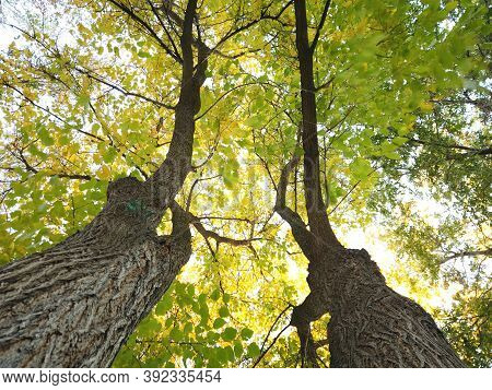 Two Trees Near Each Other. Looking Up Along Tree Trunk At Green And Yellow Canopy