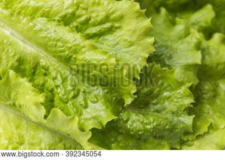 Close-up Macro View Of Fresh Green Lettuce Leaves. Lettuce Salad Leaves Foliage Green Background.