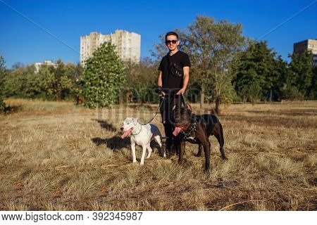 Stylish Man Walks The Dogs. Staff Terrier And Pit Bull Obey The Owner While Walking In The Park. Fre