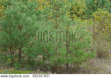 Row Of Small Green Coniferous Pines In The Dry Grass In The Forest
