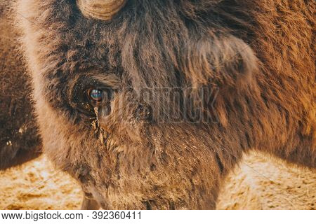 The Eye Of The Bison Is Close. The Eyes Of A Wild Animal. Beautiful Eye Of Herbivores.