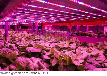 Organic Hydroponic Farming. Vegetables Are Growing In Greenhouse For Export To The Market. Interior