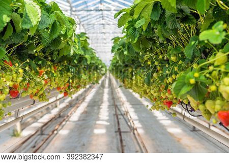 Organic Hydroponic Farming. Interior Of The Farm Hydroponics. Vegetables Farm In Hydroponics. Hydrop