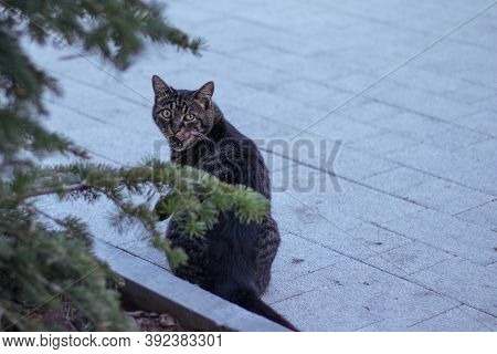 Funny Cat Licks Itself With Tongue, Urban Animal With Copy Space Background. Street Cat Face, Eyes L