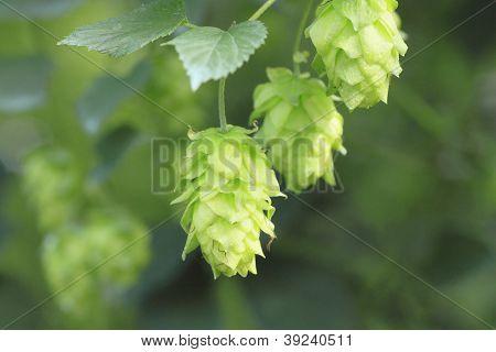 Green Hops In  Summer