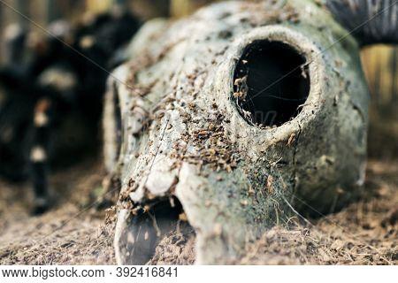 Skull With Horns Into The Desert. Dry Goat Skull On The Sand In Desert