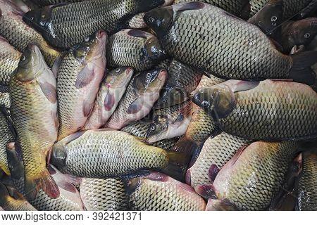 Fresh Fish Carp. Background Of Small Fish Caught In The River Crucian Carp. Fish Farming, Farm For T