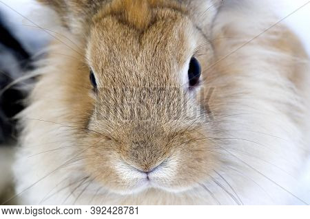Red Dwarf Rabbit, Close-up Of Head Red Dwarf Rabbit, Close-up Of Head
