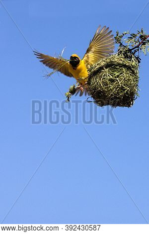 Southern Masked-weaver Ploceus Velatus, Adult Building Nest, Namibia
