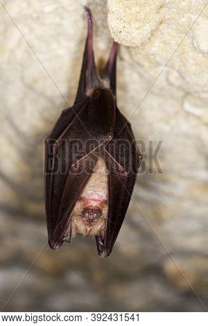 Greater Horseshoe Bat Rhinolophus Ferrumequinum, Adult Hibernating In A Cave, Normandy In France