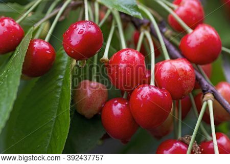 Cherries Hanging On A Cherry Tree Branch. Juicy Red Cherries On Cherry Tree
