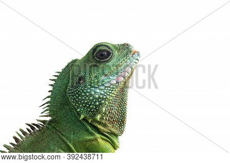 Portrait Of Big Iguana Isolated On White Background. Close-up Of The Bearded Dragon Head On A White