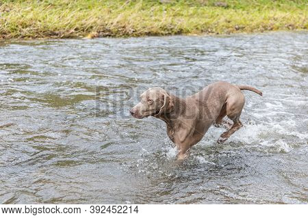 Weimaraner Dog In The River. Autumn Day On The Hunt. Hunting Season. Hunting Dog In The Water.