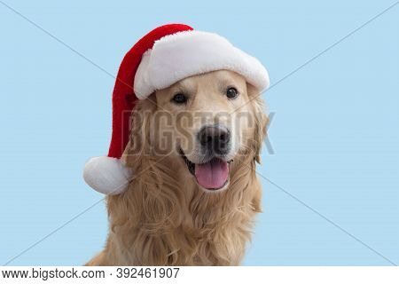 A Dog, A Golden Retriever In A Christmas Red Hat.