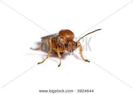 California Gall Wasp, Andricus Quercuscalifornicus