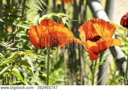 Photos Of Red Poppies. Poppy Flower. Background.