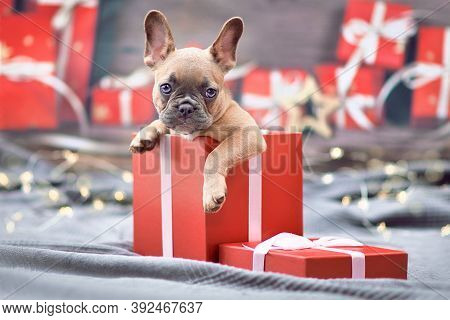 French Bulldog Dog Puppy Peeking Out Of Red Christmas Gift Box With Ribbon Surrounded By Seasonal De