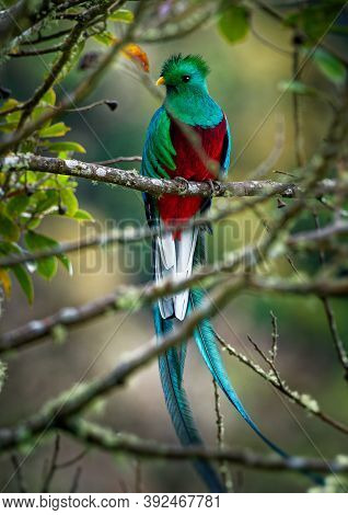 Quetzal - Pharomachrus Mocinno Male - Bird In The Trogon Family. It Is Found From Chiapas, Mexico To