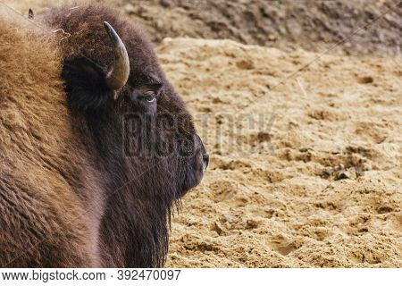 Portrait Of The Head Of The Bison Horned Eyes Fluffy