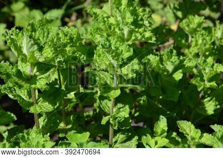 Growing Mint Curly Has A Fresh Pleasant Smell.