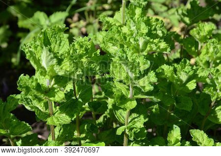 Growing Mint Curly Creates A Fragrant Atmosphere Around.