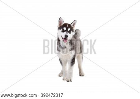 Cute Little Husky Puppy Isolated On White Background. Studio Shot Of A Funny Black And White Husky P