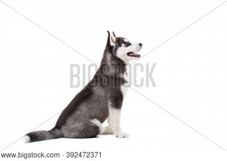 Siberian Husky Puppy, 3 Months Old In Front Of White Background. Siberian Husky Isolated On White Ba