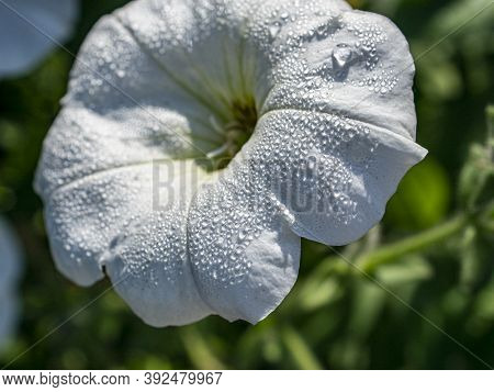 Petunia Flower With Small Dewdrops Illuminated By The Morning Sun, Macro