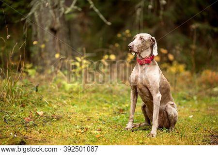 Weimaraner Vizsla Hunting Dog Sitting In The Forest.