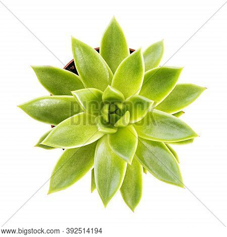 Succulents Isolated On A White Background. Succulent Echeveria In A Pot