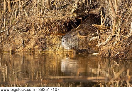 Calm Nutria Resting In Burrow Near Water In Summertime.