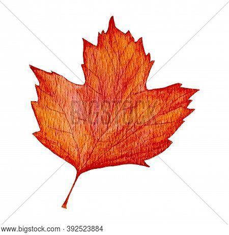 Red Watercolor Viburnum Leaf. Autumn Viburnum Leaf Isolated On White Background, Autumn Time. One Re