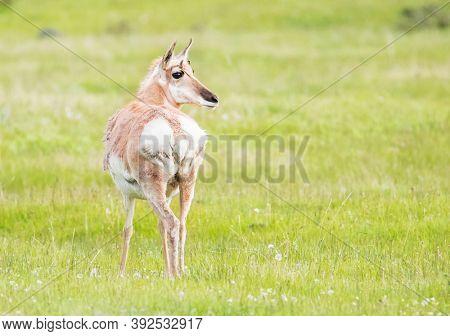 Wild female pronghorn antelope (Antilocapra americana) looking back in the grassland of Grand Teton National Park. Wyoming, USA