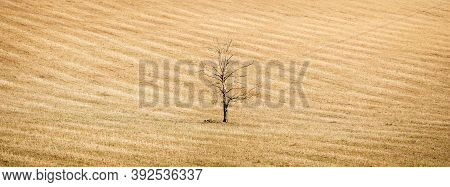 Global Warming Concept, Uk Landscape With Dead Tree In A Parched Earth Crop Field. Huge, High Resolu