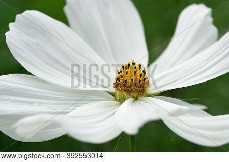 Close Up Image Of The Blossom Of Garden Cosmos (cosmos Bipinnatus)