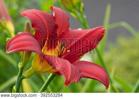 Day Lily (hemerocallis), Close Up Of The Flower Head