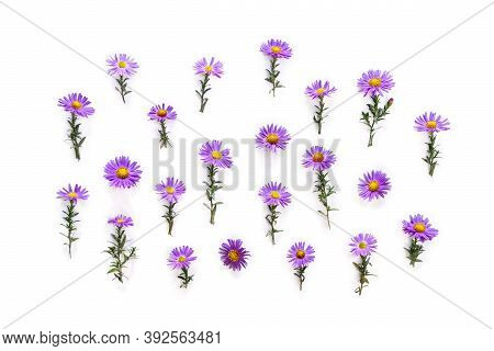 Flowers Wild Violet Asters With Dew On A White Background. Top View, Flat Lay. Aster Amellus, Michae