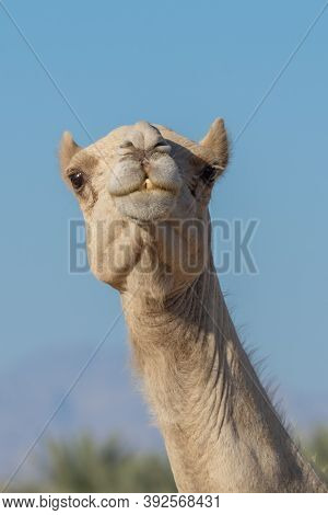 Portrait Close-up Of A Desert Dromedary Camel Facial Expression With Its Mouth And Teeth Showing In