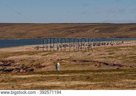 Volunteer Beach, Falkland Islands, Uk - December 15, 2008: Brownish Windswept Landscape Opposite Vol