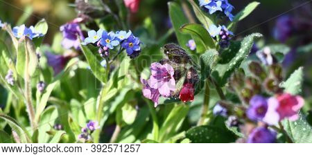 In A Spring Flower Bed A Row The Pulmonaria And A Forget-me-not Grow And Blossom.