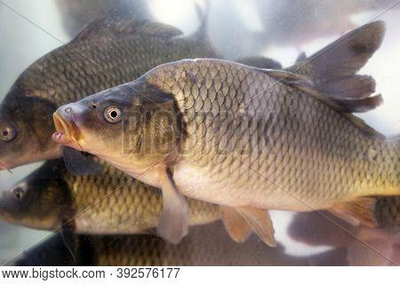 Carps Swimming In Aquarium Water, View Through The Glass. Fish Breeding, Freshwater Carp (cyprinus C