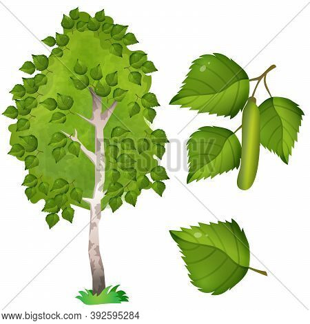 Color Image Of Fruit, Leaf And Branch With Catkins Of Birch On White Background. Plants And Trees. V