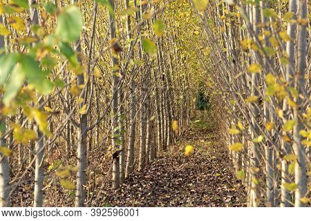 Plantation Of Black Cottonwood, Populus Trichocarpa