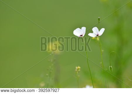 beautiful fragile poppies blossoming on wild field