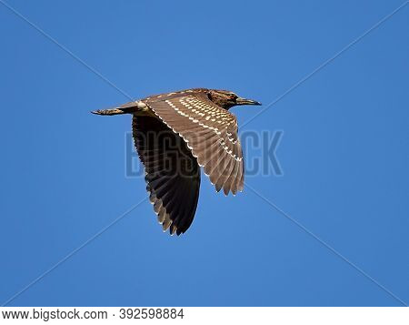 Adult Black-crowned Night-Heron (Nycticorax nycticorax) flying over wetlands