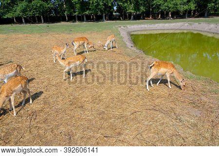 Red Deer, European Deer