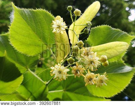 Linden Flowers Blossoming On A Tree In Summer