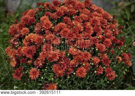 Colorful Autumnal Chrysanthemum Background. Orange Chrysanthemums. Chrysanthemum Flowers Horizontall