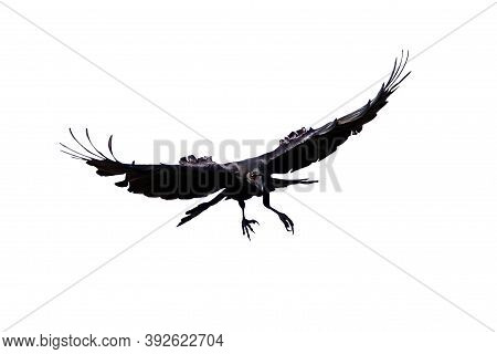 Isolated Carrion Crow In Flight With Fully Open Wings